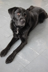 Veto (Schulhund)